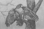 bird artist, bird portrait,nature art, red tailed hawk, portraits of birds